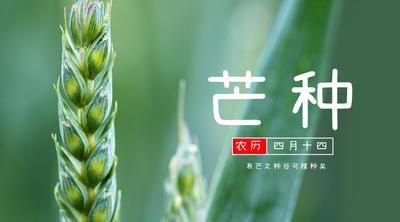 芒种节气 实景 风景 稻谷 农作物